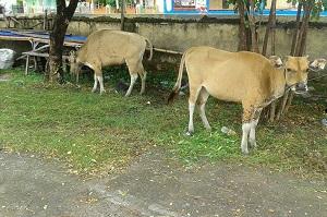 barang bukti 2 ekor sapi