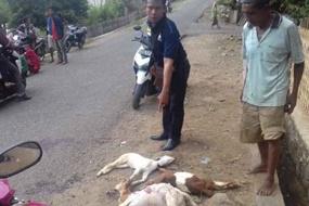 Tiga kambing yang ditabrak tersangka