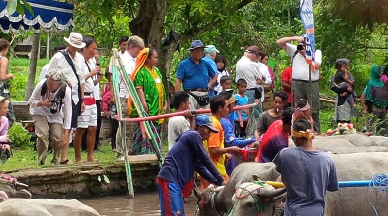 Wisman menyaksikan budaya Barapan Kebo di Dusun Pamulung