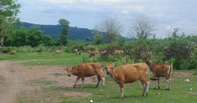 Disnakeswan Sumbawa  Ubah Pola dan Sistem Pengkartuan Ternak