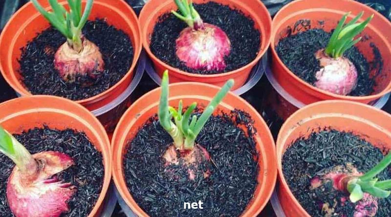 cara menanam bawang merah 2